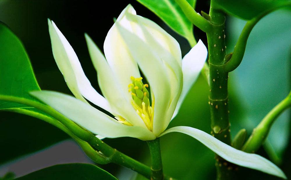 Đôi nét về hoa Ngọc Lan