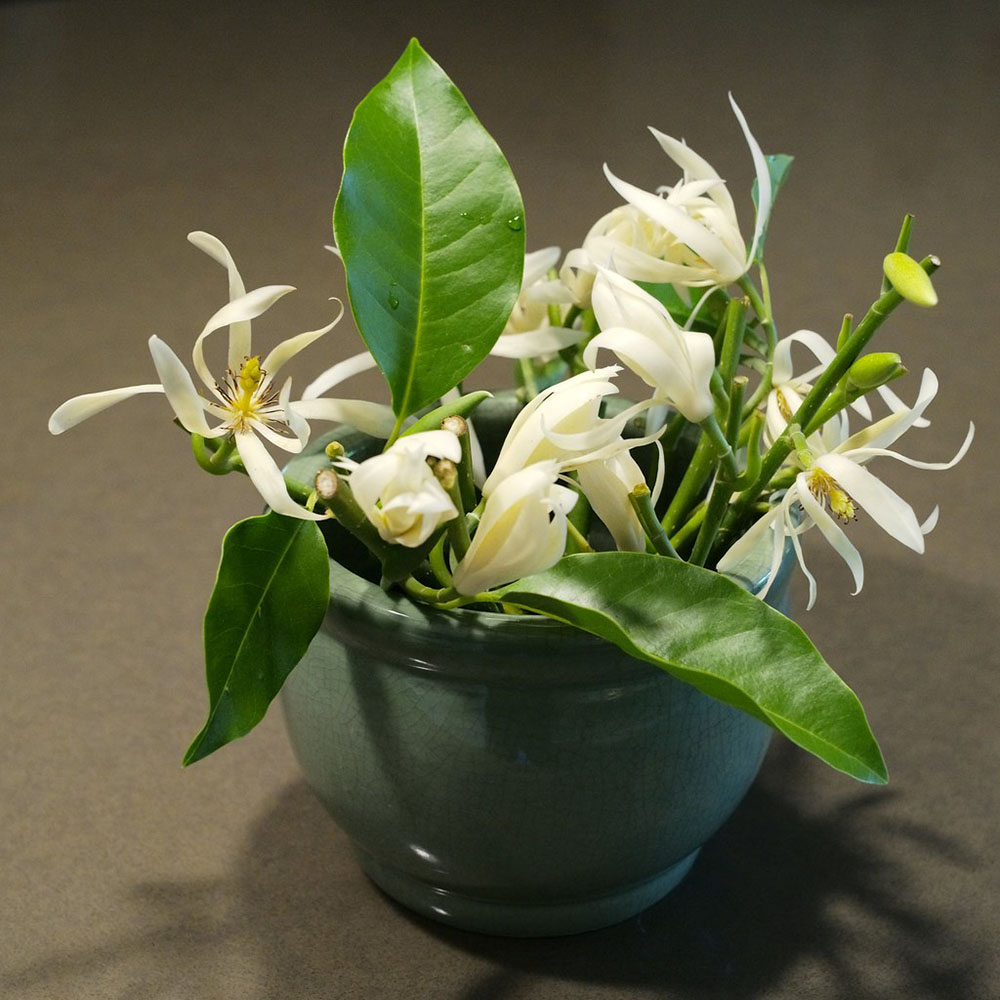 Ý nghĩa hoa Ngọc Lan trong phong thủy