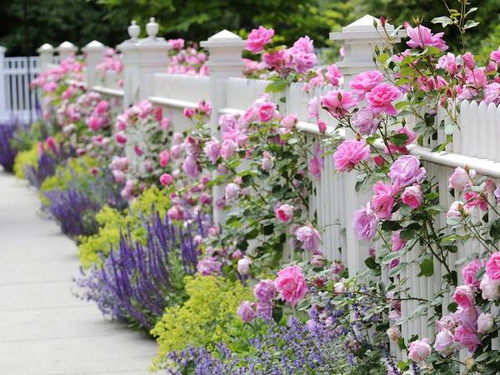 Lưu ý trước khi trồng hoa hồng