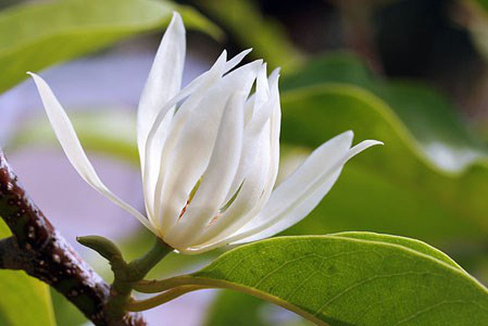 Hoa Ngọc Lan mang ý nghĩa của sự quyến luyến