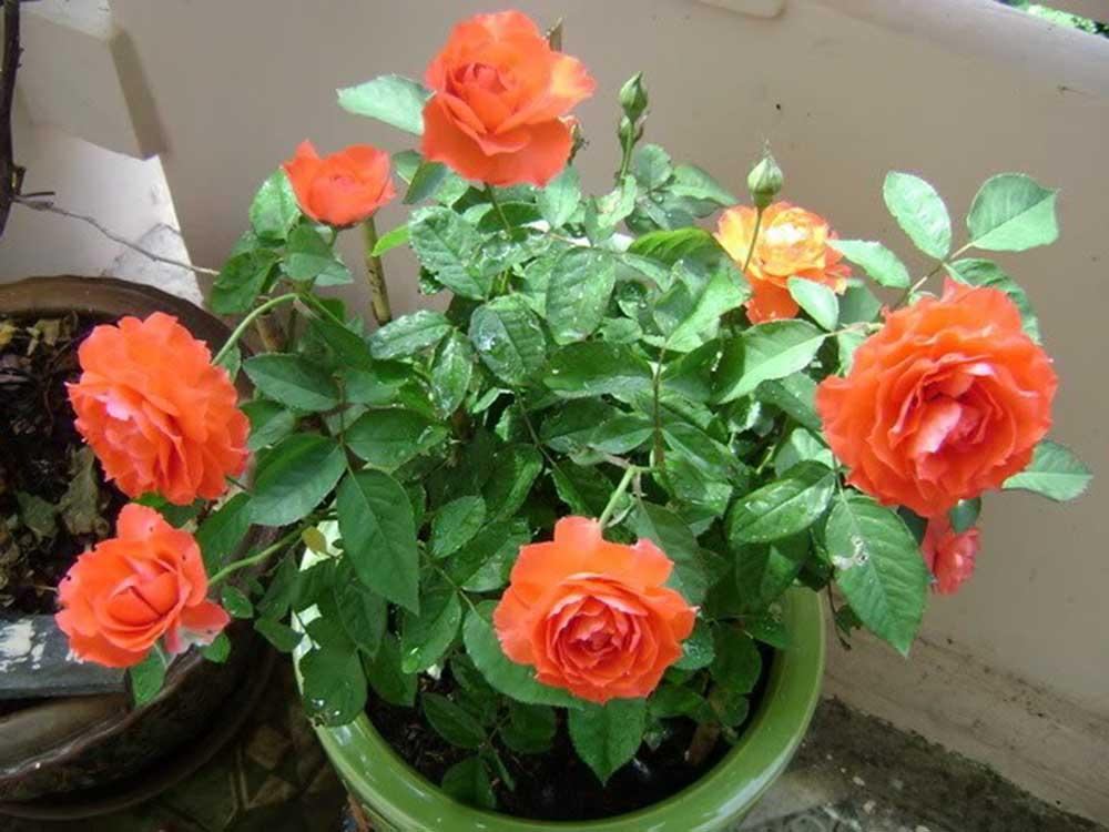 Chọn chậutrồng hoa hồng